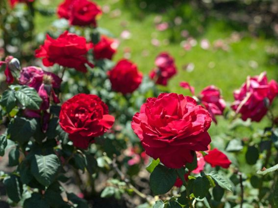 Most Beautiful Rose Gardens In The World san jose heritage rose garden